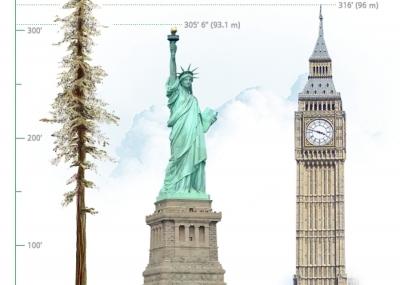Sabes cu l es el rbol m s alto del mundo el for Arbol mas grande del mundo